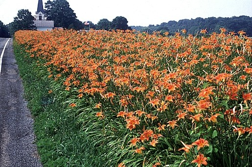 lilies_at_cherryville