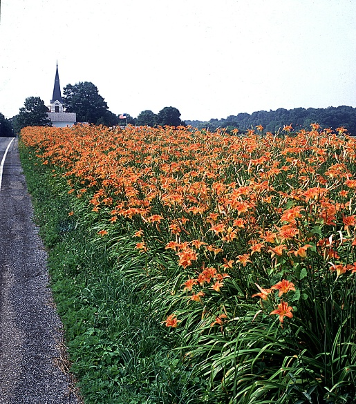 lilies_at_cherryville